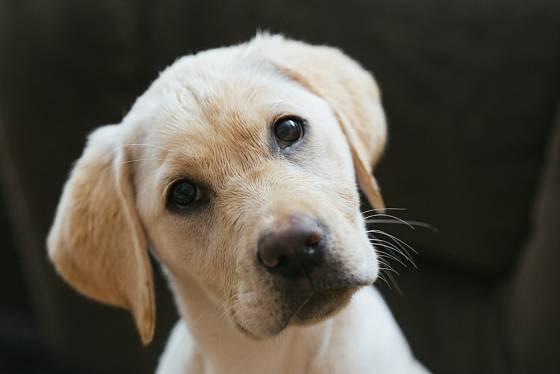 Labradorský retrívr miluje svou rodinu a bude s ní kdekoli trávit svůj čas.