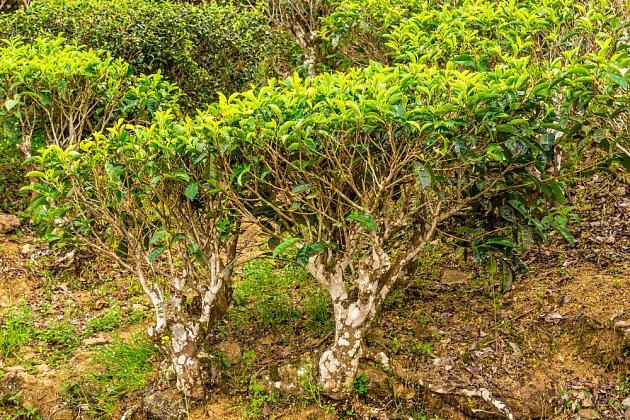Staré čajovníky na plantáži