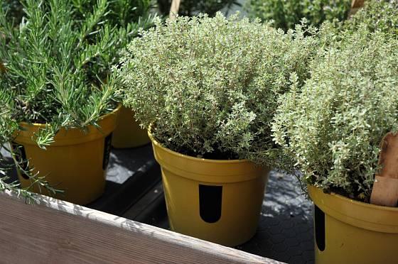 Tymián s panašovanými listy a rozmarýna pěstované v nádobách