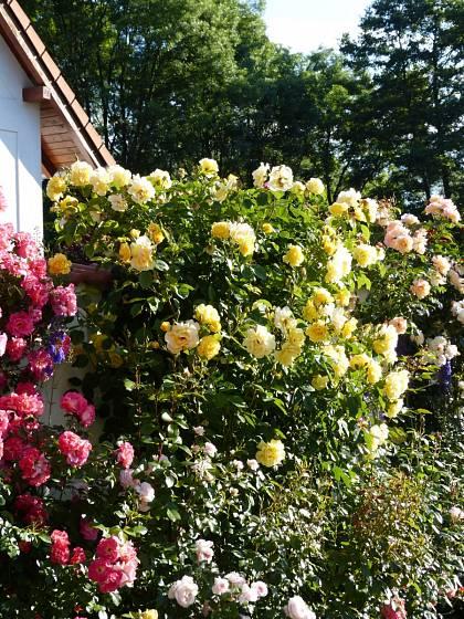 Růže odrůdy Golden Gate