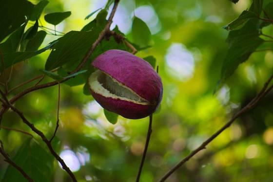 Plody akébie pětičetné jsou chutné a zdravé