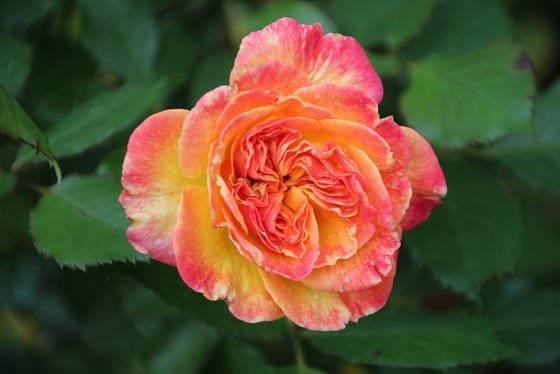 Mnohokvětá růže Gartenspass.