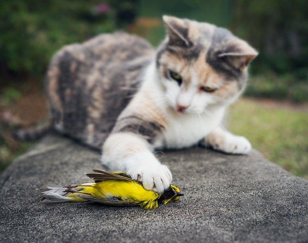 Volně vypuštěné kočky domácí mají na svědomí množství ptáků.
