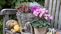 Podzimní zátiší s krásnohlávkem, bramboříkem, okrasnou kapustou a libavkou.