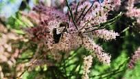 Květy tamaryšku jsou atraktivní i pro hmyz.