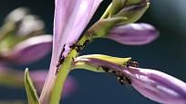 Mravenci s oblibou sají z květů rostlinné šťávy.