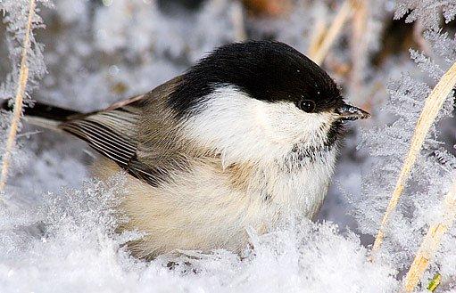 nohy ptáky nezebou ani na sněhu