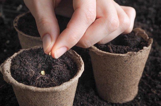 Semena rajčat můžeme vysévat do samostatných sadbovačů.
