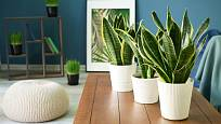 Přesto, že je tchýnin jazyk považován za rostlinu našich babiček, může zdobit i zcela moderní interiér.