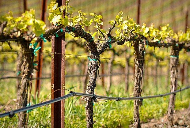 Mladé vinice potřebují na jaře závlahu