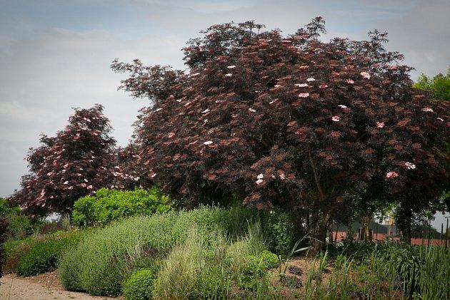 Okrasná varieta bezu vyniká nevšední barvou listů