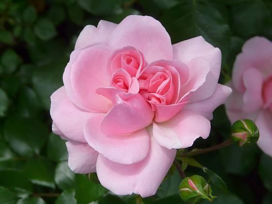 Růže odrůdy Home and Garden