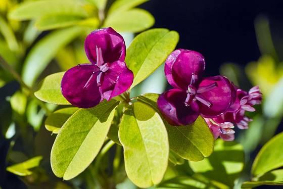 Akébie pětičetná má krásné a navíc vonné květy