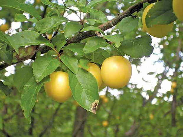 Zapomenuté ovoce