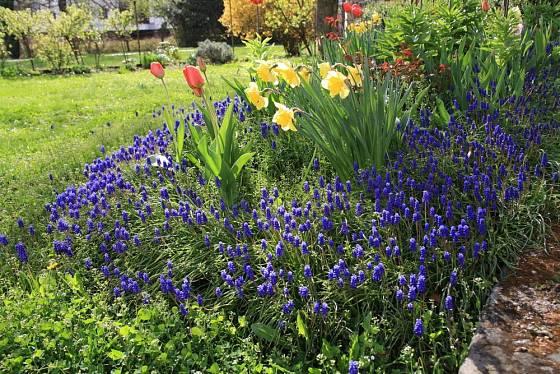 Narcisy, tulipány a modřence společně zdobí jarní zahradu