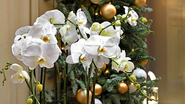 Bíle kvetoucí orchidej Phalaenopsis se hodí i pro vánoční výzdobu
