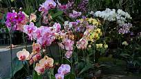 Z orchidejí se nejsnáze pěstuje druh Phalaenopsis.
