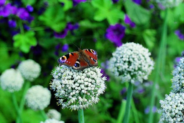 Motýli na květech naťového česneku
