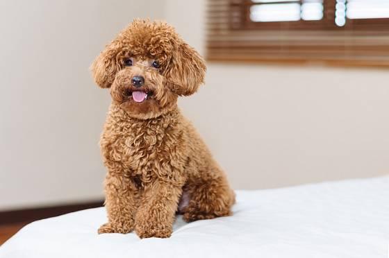 Zvláště malí a střední pudlové jsou oblíbeným psím plemenem vhodným do bytu.
