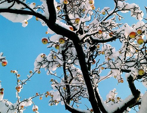 Sníh jabloním v zimě pomůže, protože ochrání jejich kořeny před mrazem a zároveň dodá potřebnou vláhu.