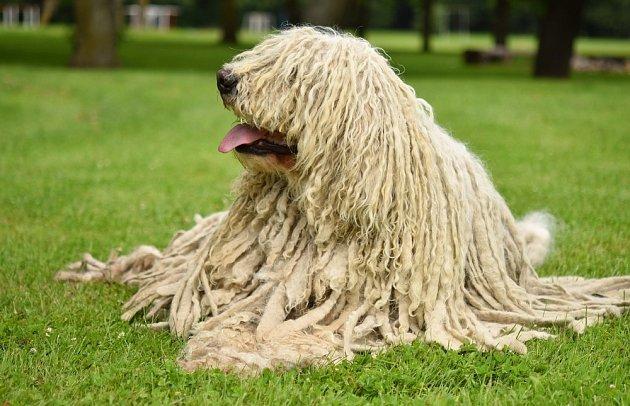 Komondor nebývá konfliktní nebo bezdůvodně agresivní, ovšem cizí psy v lásce nemá