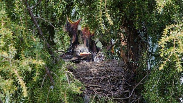 Jalovec poskytuje bezpečnou náruč pro ptačí hnízda