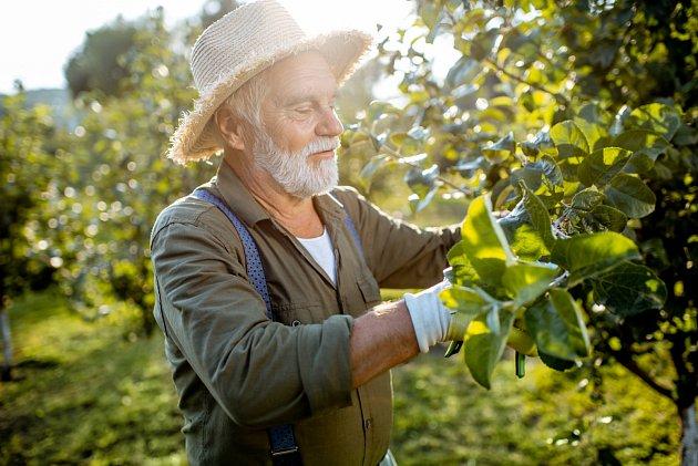 Nejlepší čas na letní řez jabloní je od konce července až do konce srpna.