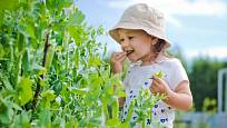 Hrášek chutná i dětem, a málokterá pochoutka je pro ně tak zdravá