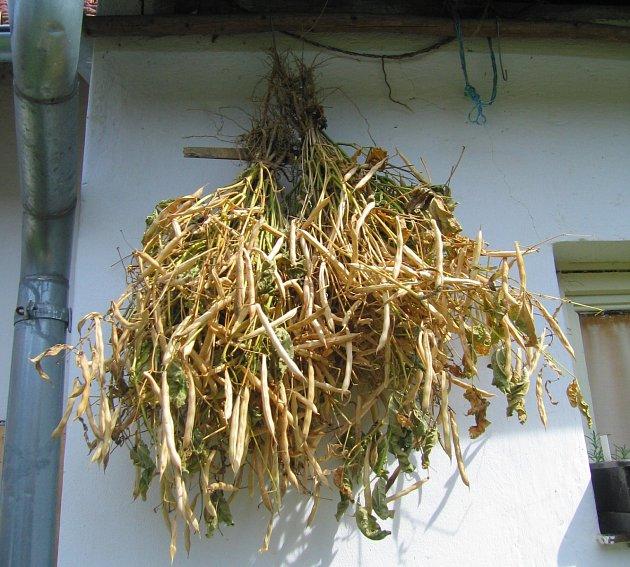 Dosoušení keříčkových fazolí pro semenaření