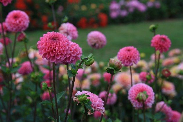 Jiřinky zdobí zahradu až do prvních mrazů