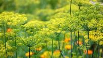 Kvetoucí kopr je pohledný i užitečný