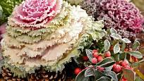 Okrasné kapusty zdobí zahradu i v zimě, podobně jako hlohyně