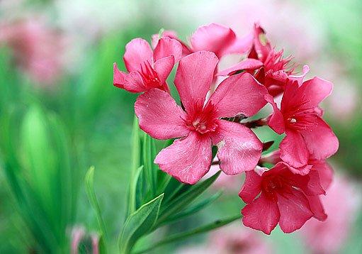 květy jedovatého oleandru