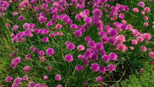 Pažitka může mít květy různých  barev.