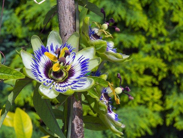 Mučenka modrá (Passiflora caerulea)