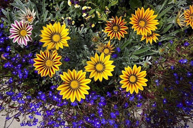 Výrazné květy gazánií podtrhnou něžné kvítky lobelky.