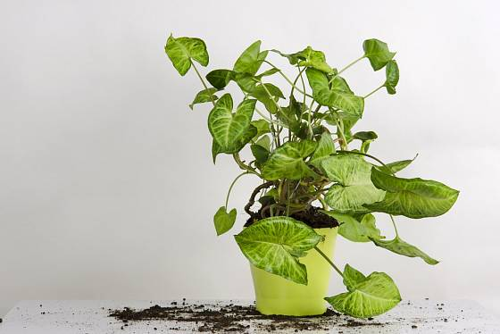 Syngonium patří k rostlinám nevhodným do dětských pokojíčků.