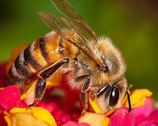 Včely umí proměnit nektar květů na hustý med