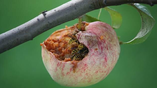 Vosy poškozují dozrávající jablka a zároveň přenášejí moniliózu a jiné choroby.
