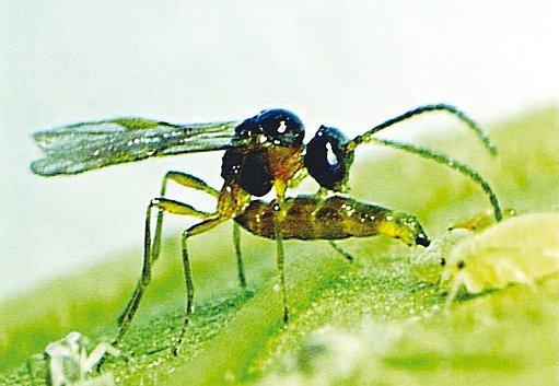 parazitující vosička (Aphidius colemani)