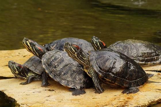 Společné slunění želv nádherných