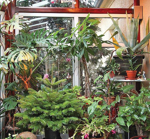Rostlinám se tu daří jako ve vytápěném skleníku. Plodí citroník, pálivé papričky aj.