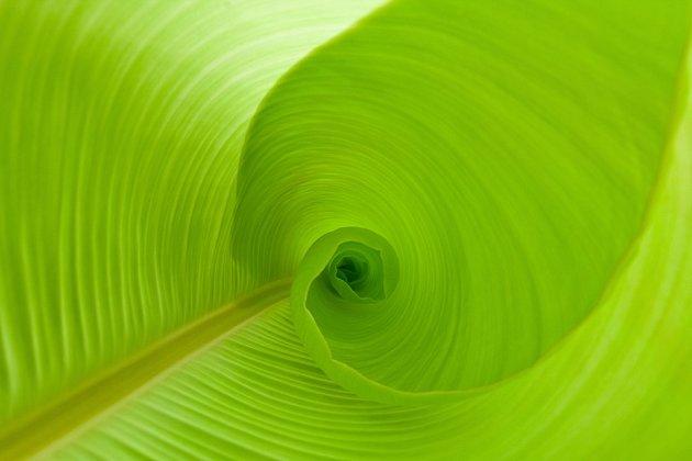 Rozvíjející se list banánovníku.
