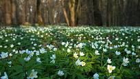 Sasanky na jaře vytváří souvislé kvetoucí koberce