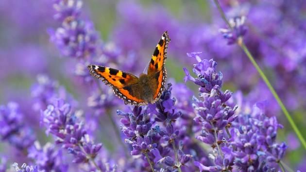 Levandule je bylinka, která se své oblibě těší po celém světě