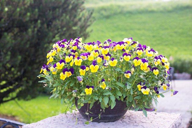 Maceška drobnokvětá (Viola cornuta)
