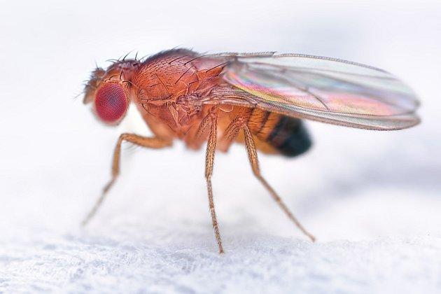 Octomilka obecná je asi 2 mm velká