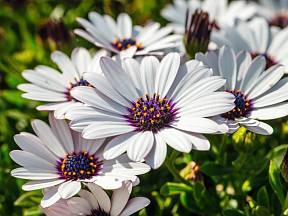 Další z mnohých přiléhavých názvů pro Osteospermum je modroočko.
