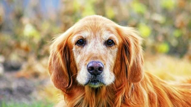 Zlatý retrívr, psí senior.