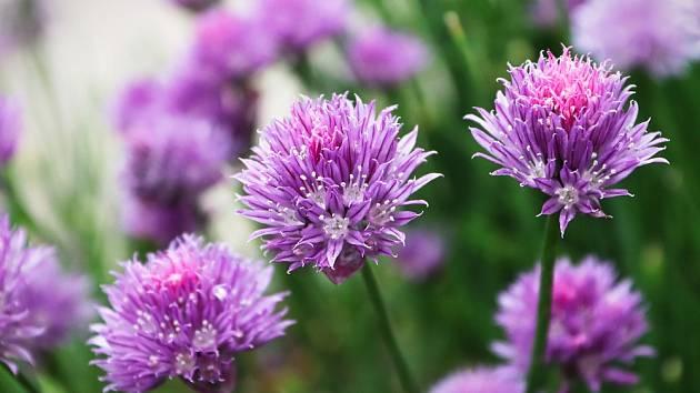 I pažitkové květy jsou jedlé a dobré.